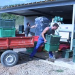 Bringing in Chardonnay grapes from the vineyard