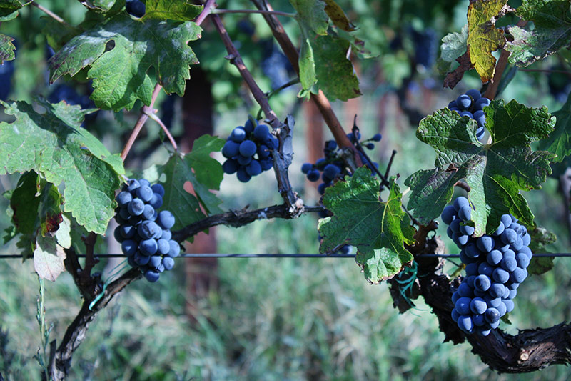Cabernet sauvignon grapes at Krolo Vineyards