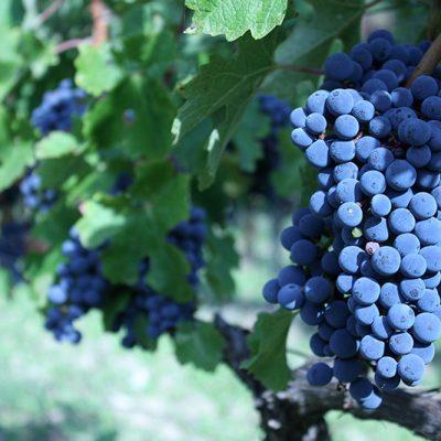 Cabernet sauvignon grapes at Krolo Vineyards