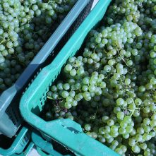 Harvested chardonnay grapes in Trilj, Croatia