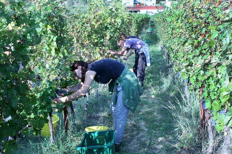 Grape harvest at Krolo winery in Trilj, Croatia