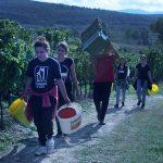 Grape harvesters in Trilj, Croatia