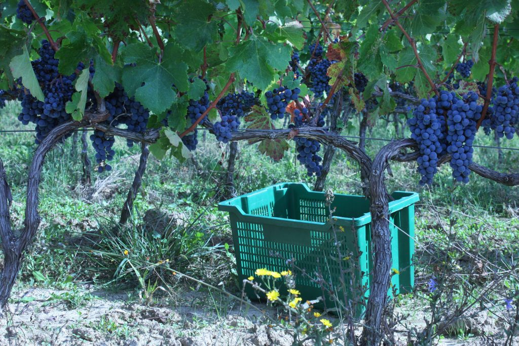 Krolo grapevines in Croatia