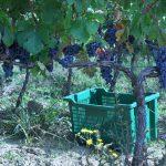 Krolo grapevines in Croatia