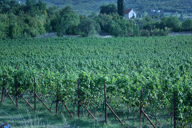 Krolo Vineyards in Trilj, Croatia