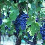 Croatia cabernet sauvignon grapevines