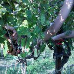 Picking wine grapes at Krolo Winery