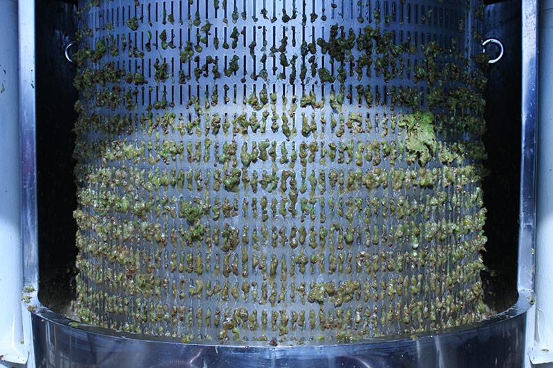 Pressing of chardonnay grapes
