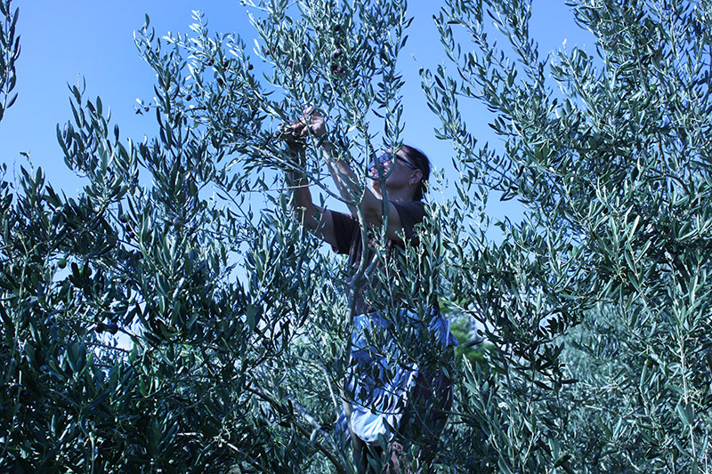 Olive harvest in Klis