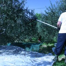patriarch-olive-picking